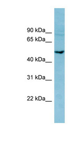 PDE7B antibody Western blot of MCF7 cell lysate. This image was taken for the unconjugated form of this product. Other forms have not been tested.