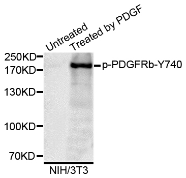Western blot analysis of extracts of NIH/3T3 cells.