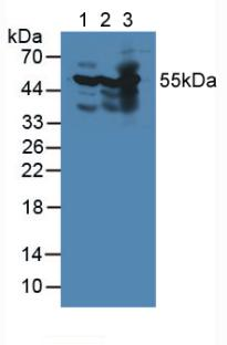 Western Blot; Sample: Lane1: Mouse Heart Tissue; Lane2: Mouse Brain Tissue; Lane3: Mouse Kidney Tissue.