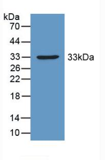 Western Blot; Sample: Recombinant PDHX, Mouse.