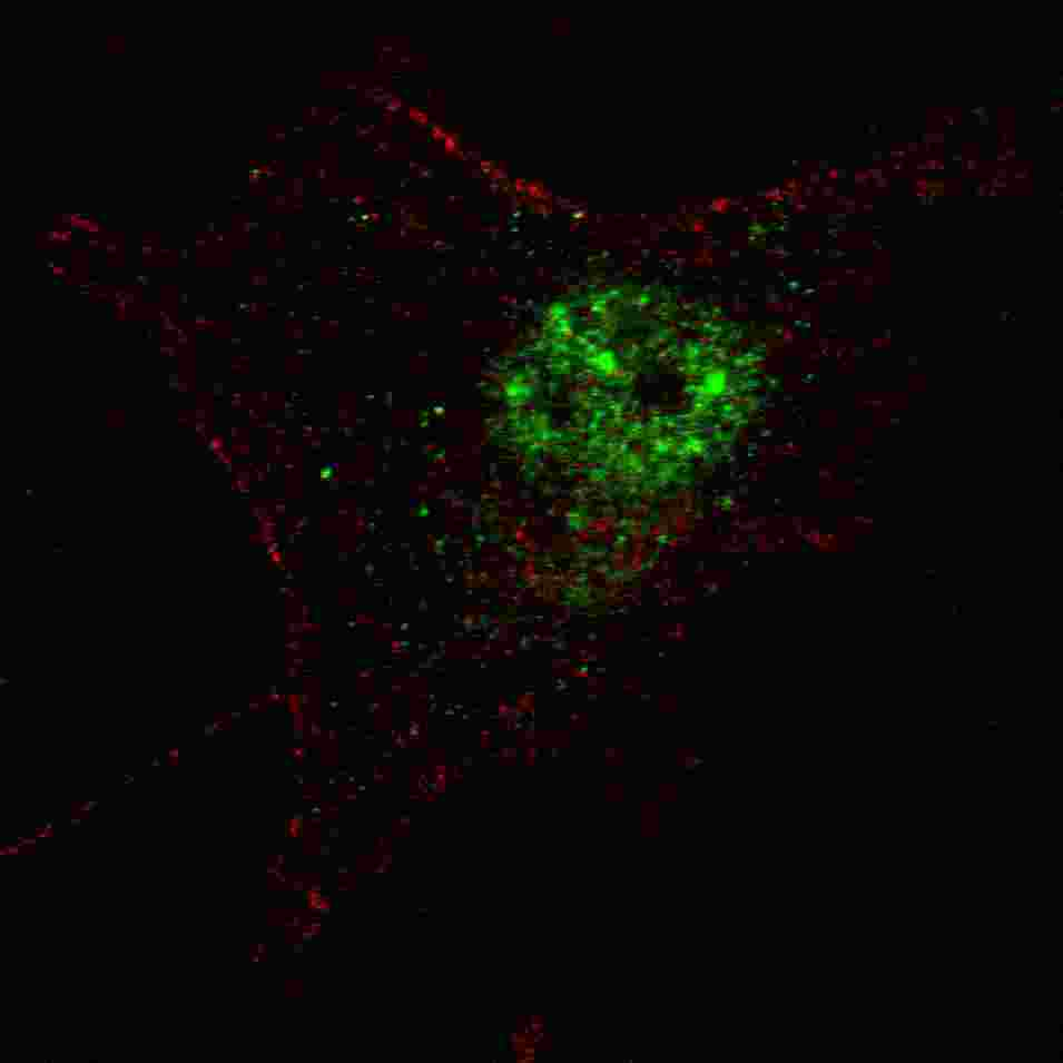 Fluorescent confocal image of SY5Y cells stained with PDX1 (T11) antibody. SY5Y cells were fixed with 4% PFA (20 min), permeabilized with Triton X-100 (0.2%, 30 min). Cells were then incubated PDX1 (T11) primary antibody (1:100, 2 h at room temperature). For secondary antibody, Alexa Fluor 488 conjugated donkey anti-rabbit antibody (green) was used (1:1000, 1h). Nuclei were counterstained with Hoechst 33342 (blue) (10 ug/ml, 5 min). Note the highly specific localization of the PDX1 immunosignal to the nucleus, supported by Human Protein Atlas Data (http://www.proteinatlas.org/ENSG00000110435).