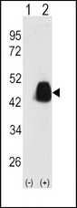 Western blot of PDX1 (arrow) using PDX1 Antibody (T11). 293 cell lysates (2 ug/lane) either nontransfected (Lane 1) or transiently transfected with the PDX1 gene (Lane 2) (Origene Technologies).