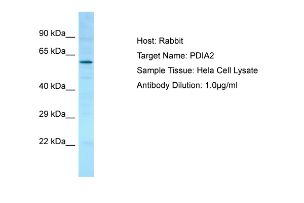 PDIA2 Antibody -  This image was taken for the unconjugated form of this product. Other forms have not been tested.