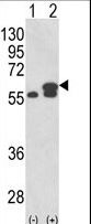 PDIA3 / ERp57 Antibody - Western blot of PDIA3 (arrow) using rabbit polyclonal PDIA3 Antibody. 293 cell lysates (2 ug/lane) either nontransfected (Lane 1) or transiently transfected with the PDIA3 gene (Lane 2).