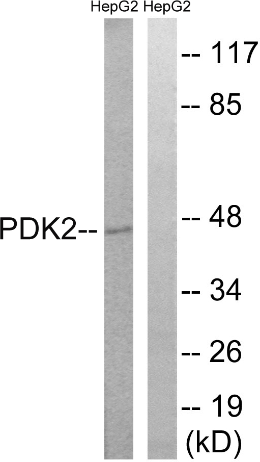 PDK2 Antibody - Western blot analysis of lysates from HepG2 cells, using PDK2 Antibody. The lane on the right is blocked with the synthesized peptide.