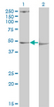 Western Blot analysis of PDK3 expression in transfected 293T cell line by PDK3 monoclonal antibody (M01), clone 2B11.Lane 1: PDK3 transfected lysate(46.9 KDa).Lane 2: Non-transfected lysate.