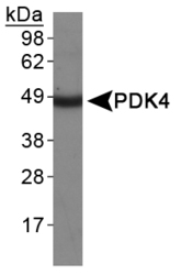 PDK4 Antibody - PDK4 Antibody - Western Blot on human heart protein lysate.  This image was taken for the unconjugated form of this product. Other forms have not been tested.