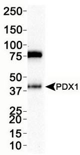 Western Blot: PDX1 Antibody - WB analysis of PDX1 in INS1 cell lysate.