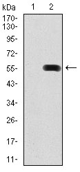 Western blot using PDX1 monoclonal antibody against HEK293 (1) and PDX1 (AA: 39-283)-hIgGFc transfected HEK293 (2) cell lysate.