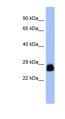 PDX1 antibody LS-C110227 Western blot of PANC1 cell lysate.  This image was taken for the unconjugated form of this product. Other forms have not been tested.