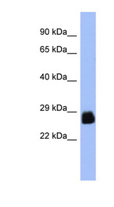 PDX1 antibody Western blot of PANC1 cell lysate. This image was taken for the unconjugated form of this product. Other forms have not been tested.