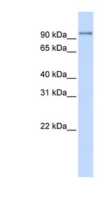PDXDC1 antibody Western blot of 293T cell lysate. This image was taken for the unconjugated form of this product. Other forms have not been tested.
