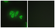Immunofluorescence analysis of HepG2 cells, using PDZD2 Antibody. The picture on the right is blocked with the synthesized peptide.