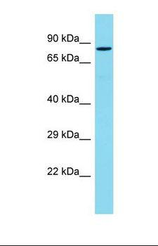 PDZD4 Antibody - Western blot of Mouse Heart. Pdzd4 antibody dilution 1.0 ug/ml.  This image was taken for the unconjugated form of this product. Other forms have not been tested.