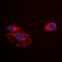PEBP1 / RKIP Antibody - Immunofluorescent analysis of RKIP staining in HepG2 cells. Formalin-fixed cells were permeabilized with 0.1% Triton X-100 in TBS for 5-10 minutes and blocked with 3% BSA-PBS for 30 minutes at room temperature. Cells were probed with the primary antibody in 3% BSA-PBS and incubated overnight at 4 C in a humidified chamber. Cells were washed with PBST and incubated with a DyLight 594-conjugated secondary antibody (red) in PBS at room temperature in the dark. DAPI was used to stain the cell nuclei (blue).