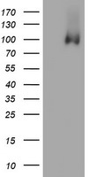 HEK293T cells were transfected with the pCMV6-ENTRY control (Left lane) or pCMV6-ENTRY PECAM1 (Right lane) cDNA for 48 hrs and lysed. Equivalent amounts of cell lysates (5 ug per lane) were separated by SDS-PAGE and immunoblotted with anti-PECAM1.