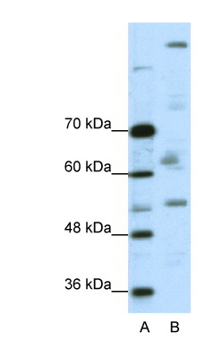 PEG3 antibody LS-B1556 Western blot of A204 cell lysate.  This image was taken for the unconjugated form of this product. Other forms have not been tested.