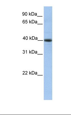HepG2 cell lysate. Antibody concentration: 1.0 ug/ml. Gel concentration: 12%.  This image was taken for the unconjugated form of this product. Other forms have not been tested.