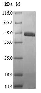 Sarcoplasmic calcium-binding protein, alpha-B and -A chains Protein - (Tris-Glycine gel) Discontinuous SDS-PAGE (reduced) with 5% enrichment gel and 15% separation gel.