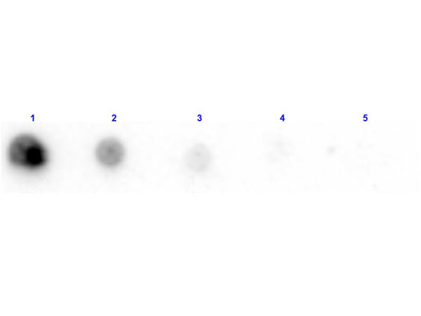 Penicillinase Antibody - Dot Blot results of rabbit Anti-Penicillinase Antibody Biotin Conjugated. Dots are Penicillinase at (1) 100ng, (2) 33.3ng, (3) 11.1ng, (4) 3.70ng, (5) 1.23ng. Blocking: MB-070 for 30 min at RT. Primary Antibody: Rabbit Anti-Penicillinase Biotin at 1µg/mL for 1hr at RT. Secondary Antibody: Streptavidin-HRP at 1:40,000 for 30min at RT. Imaged with BioRad ChemiDoc, Chemi filter.