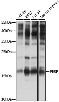PERP Antibody - Western blot analysis of extracts of various cell lines, using PERP antibody at 1:1000 dilution. The secondary antibody used was an HRP Goat Anti-Rabbit IgG (H+L) at 1:10000 dilution. Lysates were loaded 25ug per lane and 3% nonfat dry milk in TBST was used for blocking. An ECL Kit was used for detection and the exposure time was 90s.