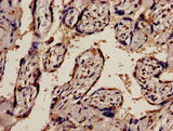 Immunohistochemistry analysis of human placenta tissue at a dilution of 1:100