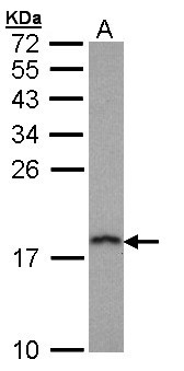 Sample (30 ug of whole cell lysate). A: Hep G2 . 12% SDS PAGE. PFDN5 / MM1 antibody diluted at 1:1000.