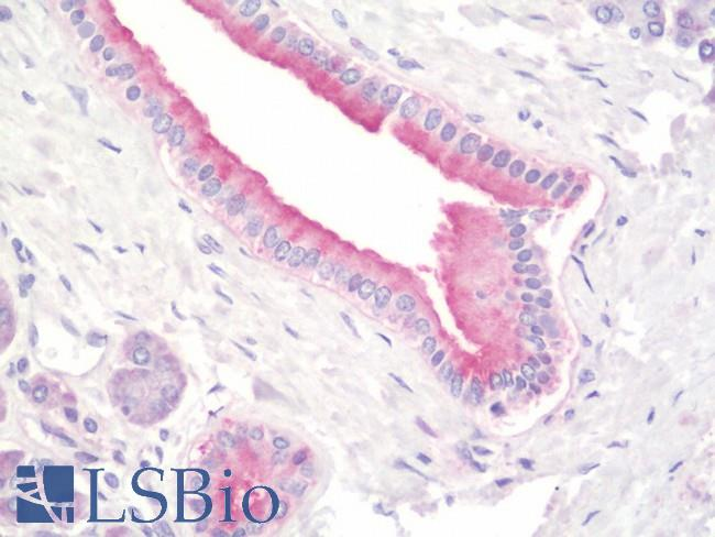 Anti-PFDN5 / MM1 antibody IHC staining of human pancreas. Immunohistochemistry of formalin-fixed, paraffin-embedded tissue after heat-induced antigen retrieval. Antibody concentration 10 ug/ml.  This image was taken for the unconjugated form of this product. Other forms have not been tested.