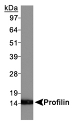 PFN1 / Profilin 1 Antibody - Profilin Antibody - Western Blot on HeLa whole cell extracts.  This image was taken for the unconjugated form of this product. Other forms have not been tested.