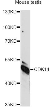 PFTK1 / CDK14 Antibody - Western blot analysis of extracts of mouse testis, using CDK14 antibody at 1:1000 dilution. The secondary antibody used was an HRP Goat Anti-Rabbit IgG (H+L) at 1:10000 dilution. Lysates were loaded 25ug per lane and 3% nonfat dry milk in TBST was used for blocking. An ECL Kit was used for detection and the exposure time was 90s.