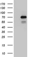 PGBD3 Antibody - HEK293T cells were transfected with the pCMV6-ENTRY control. (Left lane) or pCMV6-ENTRY PGBD3. (Right lane) cDNA for 48 hrs and lysed