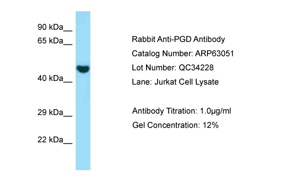 PGD Antibody -  This image was taken for the unconjugated form of this product. Other forms have not been tested.