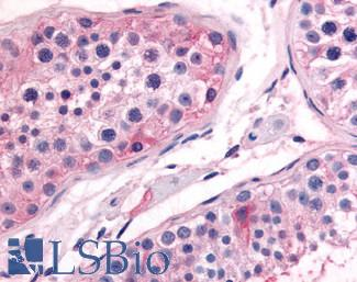 Anti-PTGES antibody LS-A8896 IHC of human testis. Immunohistochemistry of formalin-fixed, paraffin-embedded tissue after heat-induced antigen retrieval.