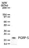 Western blot of PGRP-S in tissue lysates from mouse spleen using antibody at a dilution of 2 ug/ml.