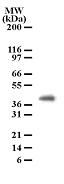 Western blot of PGRP-1beta in cell lysates from human brain using antibody at a dilution of 2 ug/ml.