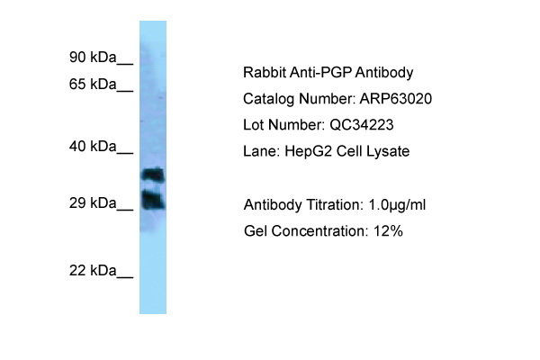 PGP Antibody -  This image was taken for the unconjugated form of this product. Other forms have not been tested.