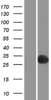 PGPEP1 Protein - Western validation with an anti-DDK antibody * L: Control HEK293 lysate R: Over-expression lysate
