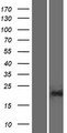 PGPEP1L Protein - Western validation with an anti-DDK antibody * L: Control HEK293 lysate R: Over-expression lysate