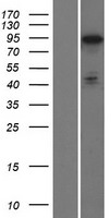 PHACTR2 Protein - Western validation with an anti-DDK antibody * L: Control HEK293 lysate R: Over-expression lysate
