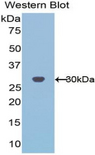 PHAP1 / ANP32A Antibody - Western blot of recombinant PHAP1 / ANP32A.  This image was taken for the unconjugated form of this product. Other forms have not been tested.
