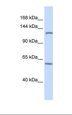 Fetal brain lysate. Antibody concentration: 1.0 ug/ml. Gel concentration: 6-18%.  This image was taken for the unconjugated form of this product. Other forms have not been tested.