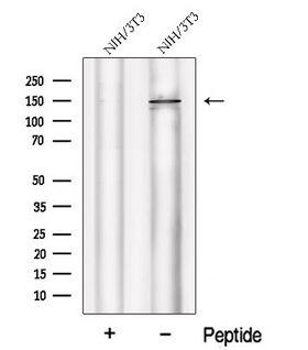 PHLPP2 / PHLPPL Antibody - Western blot analysis of extracts of NIH-3T3 cells using PHLPPL antibody. The lane on the left was treated with blocking peptide.