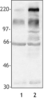 Phosphotyrosine Antibody - Hela cell extract was resolved by electrophoresis, transferred to nitrocellulose, and probed with monoclonal anti-phosphotyrosine antibody (clone PY-20). Lane 1, serum-starved Hela cells; Lane 2, serum-starved Hela cells following serum addition for 4 hrs