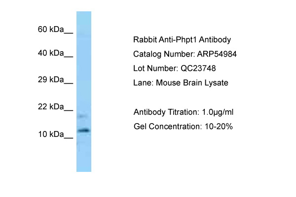 PHPT1 Antibody -  This image was taken for the unconjugated form of this product. Other forms have not been tested.