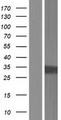 PHYHD1 Protein - Western validation with an anti-DDK antibody * L: Control HEK293 lysate R: Over-expression lysate