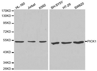 PICK1 Antibody - Western blot analysis of extracts of various cell lines, using PICK1 antibody at 1:1000 dilution. The secondary antibody used was an HRP Goat Anti-Rabbit IgG (H+L) at 1:10000 dilution. Lysates were loaded 25ug per lane and 3% nonfat dry milk in TBST was used for blocking.