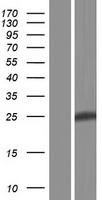 PID1 Protein - Western validation with an anti-DDK antibody * L: Control HEK293 lysate R: Over-expression lysate