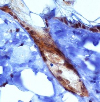 PIEZO1 / FAM38A Antibody - Immunohistochemistry: PIEZO1 Antibody - Analysis of PIEZ01 in mouse epidermis using DAB with hematoxylin counterstain.  This image was taken for the unconjugated form of this product. Other forms have not been tested.