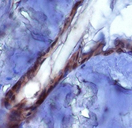 Immunohistochemistry: PIEZO2 Antibody - Analysis of PIEZ02 in mouse epidermis using DAB with hematoxylin counterstain.  This image was taken for the unconjugated form of this product. Other forms have not been tested.