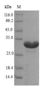 EPO / Erythropoietin Protein - (Tris-Glycine gel) Discontinuous SDS-PAGE (reduced) with 5% enrichment gel and 15% separation gel.